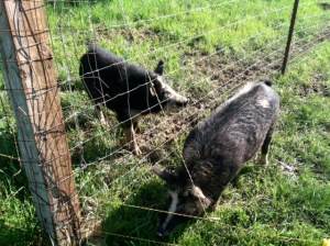 Willy and the girls are getting acquainted through the fence before their first date.